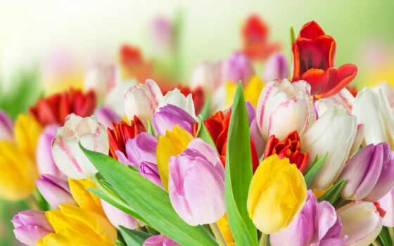 тюльпан, красивый, цветы, different, букет, white, фотообои, большой, free, розовый, красное