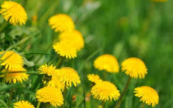 одуванчики, цветы, весна