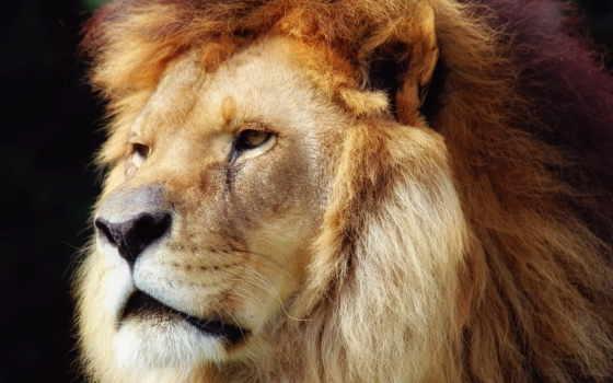 lion, king, грива