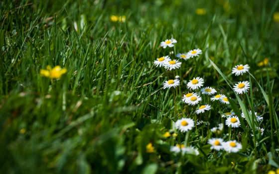 поляна, цветы, ромашки, весна, полевые, ромашками, трава,