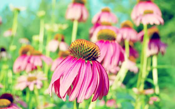 розовый, фон, цветы