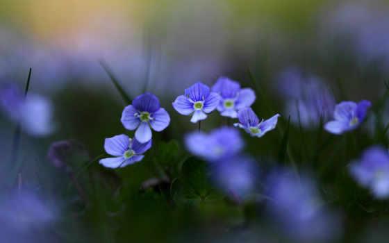 цветы, природа, растения, фиолетовые, поляна, листва, боке, цветение, размытость,