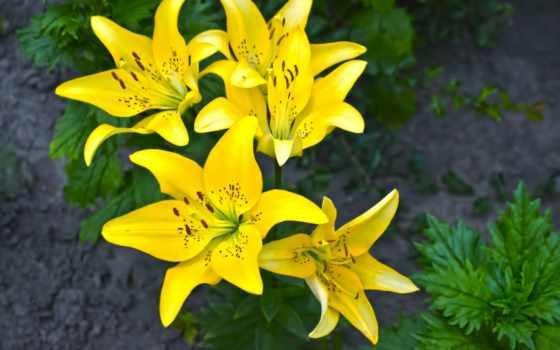 цветы, лилии, клумба, желтые, зелёный, flowers, lily,