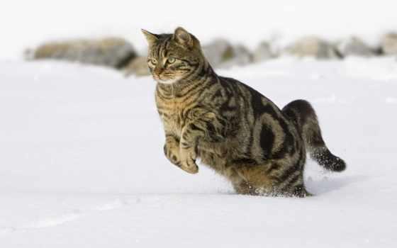 кошки, кот, снегу, снег, прыгает, прыжок, снежные,