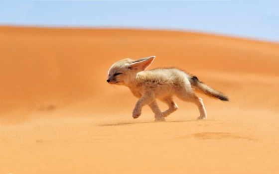 fennec, лисичка, маленькая, пустыне, яndex, бежит, card, коллекциях, helen,
