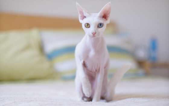 кот, sphynx, извилины, small