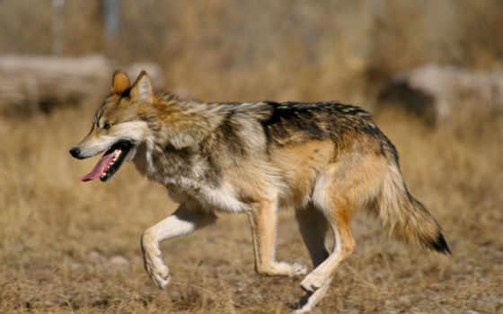 волк, серый, мексиканский, wolves, животные, defenders,