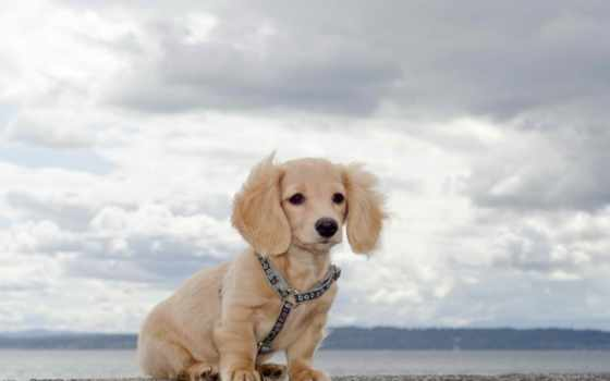 ожидание, dachshund, таксы, собака, собаки, pinterest, красивые, long, cute, golubytnikova,