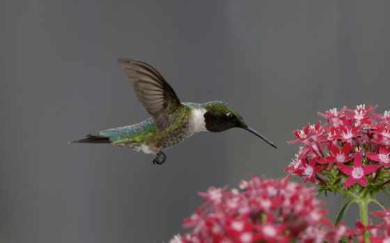цветок, птица, колибри