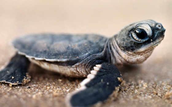 baby, turtles, черепаха