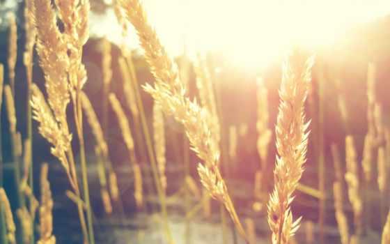 колосья, sun, блики, свет, травы, свете, солнечном, макро,