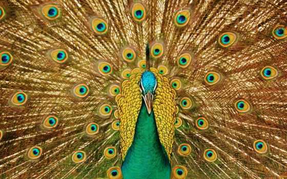 peacock, птица, фотообои