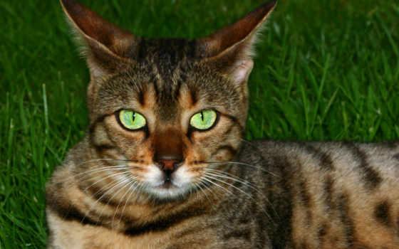 бенгальская, кот, породы