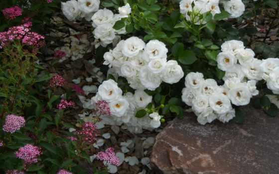 цветы, камень, цветение, розы, bush, тюльпаны, garden, зелёный, кб, ромашки, просмотров,