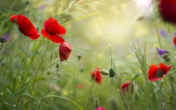 summer, cvety, поле, маки, красные, трава,