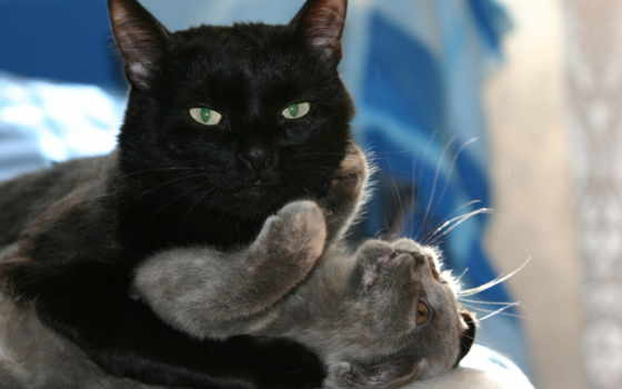 кот, black, коты
