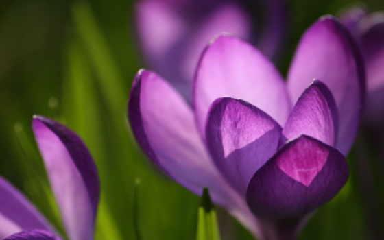 обои, фото, природа, заставки, фиолетовый, крокус,