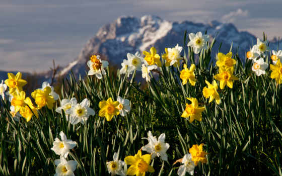 mountain, narcissus, цветы