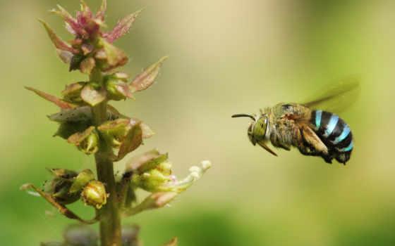 пчелка, banded, blue