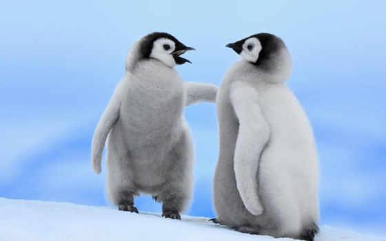 пингвины, птицы, дек