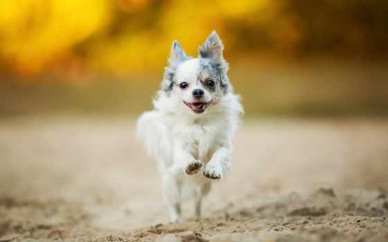 чихуахуа, собаки, щенок, zhivotnye, прогулка, bulldog, друзья, размытом, fone, собачонка,