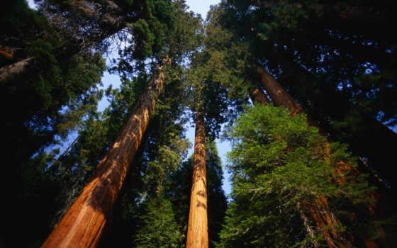 park, секвойя, national, расположен, калифорнии, state, невады, площадь, парка, сьерры,