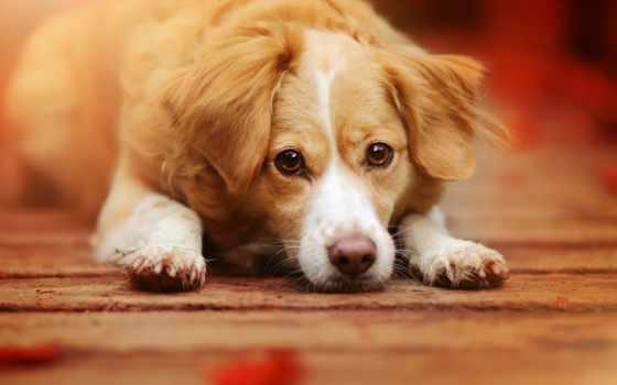 собаки, вины, ощущение, морда, взгляд, ли, zhivotnye, волков, кот,