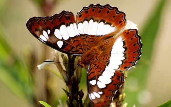 бабочка, white, браун,