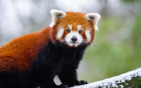 панда, red, animal, branch, cute, попугай, дерево, marine
