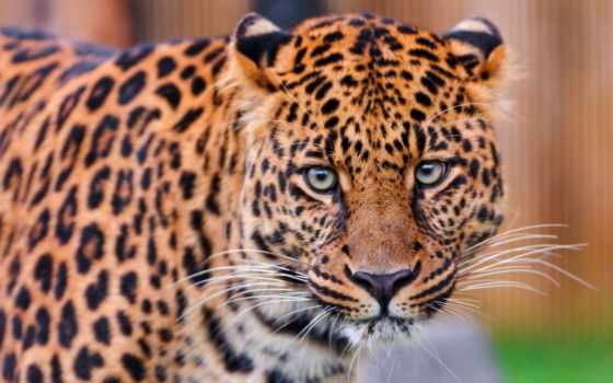 хищник, леопард