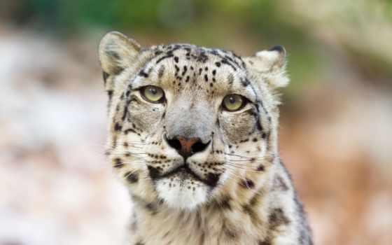 snow, leopard, download