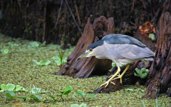 black, night, crowned, heron, птицы, животные,
