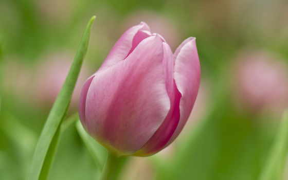 цветы, розовый, soft