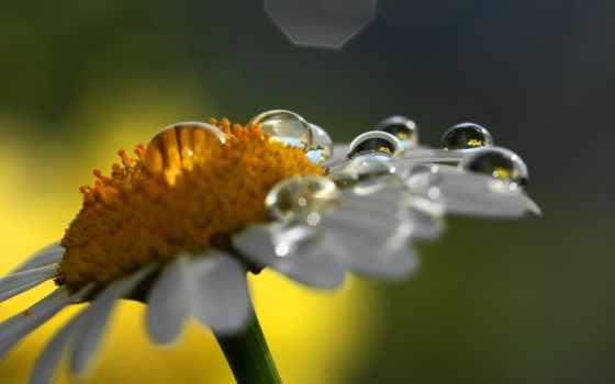 makro, ромашка, капли, цветок, роса,