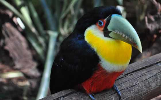 птица, toucan, iphone, colorful, клюв, birds, preview, tucano, free,