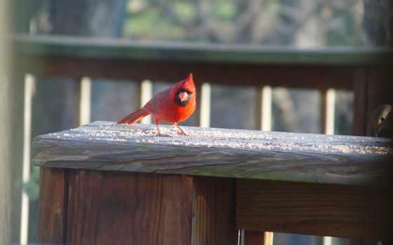 кардинал, northern,