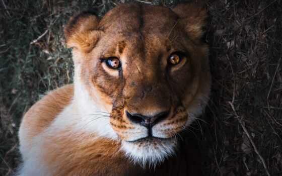 львица, красивый, lion, коллекция, animal, грива, фото, smartphone, mobile