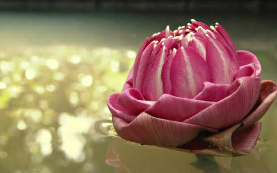 цветок, hd, wallpaper, flowers, lotus, вода, картинка, nature, water, отражение, плавающий, lily, flower, изображение,