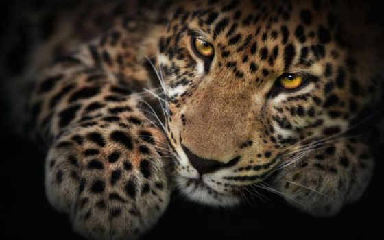 леопард, леопарды, pardus