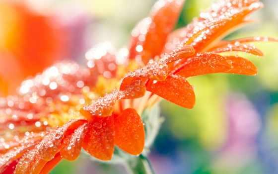 цветы, gerbera, макро, лепестки, оранжевый, оранжевая, капли, герберы, воде,