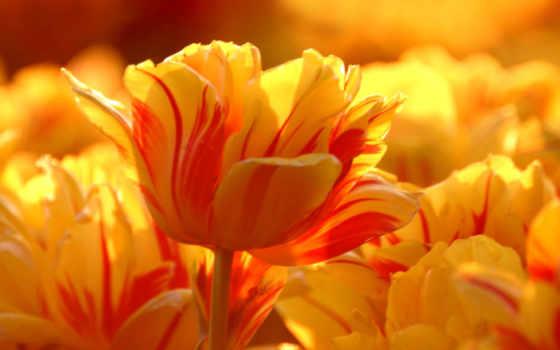 flowers, sunshine, tulips, тюльпан, rocks, весна, purple,