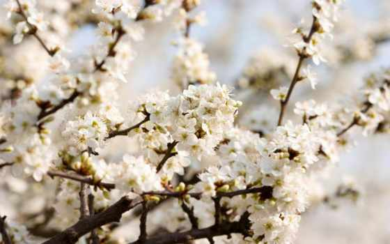 cherry, blossoms, white, flowers, цветение, природа, цветущая, ягода,