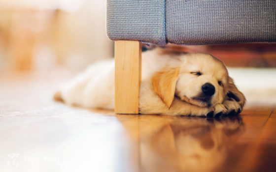 собаку, квартире, better, лабрадор, завести, собак, dome, choose, квартиры, щенка, собака,