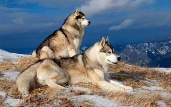 хаски, winter, собаки