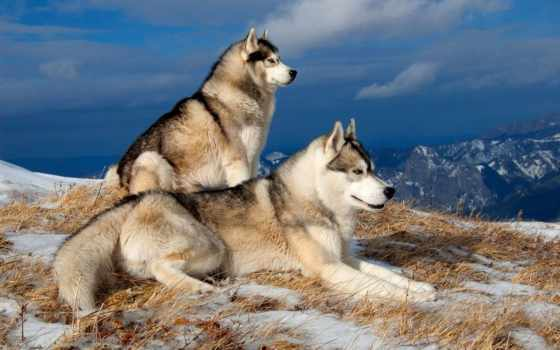 хаски, winter, собаки, снег, zhivotnye, холод, горы,
