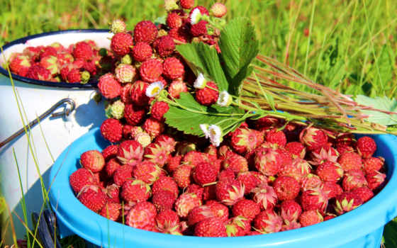 клубника, лес, ягода, many