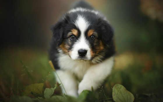 berner, sennenhund, собака, welpen, щенок, hunde, niedliche