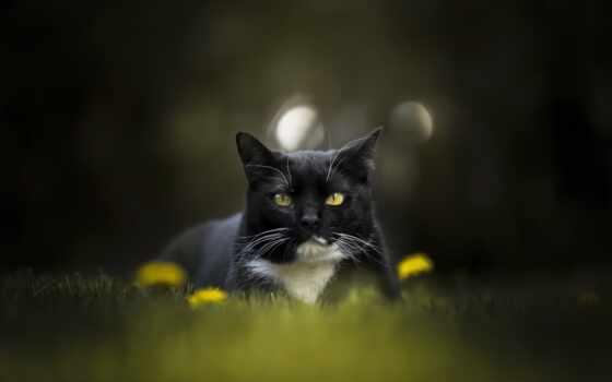 кот, black, white, красивый, зелёный, portrait, animal, british