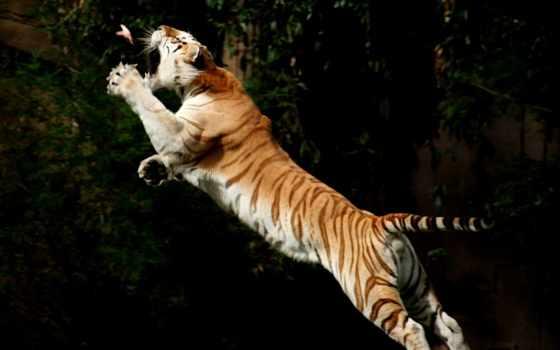 тигр, фото