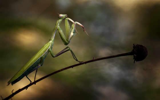 богомол, national, geographic, verron, cyril, июль, от, дома, насекомых, за, насекомое, цветок, стебель, себя, зелёный, завести, которых, классных,